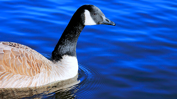 Canadian Goose Swimming on Dark Blue Water